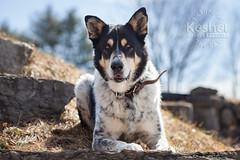 Picture of the Day (Keshet Kennels & Rescue) Tags: adoption dog ottawa ontario canada keshet large breed dogs animal animals pet pets field nature photography border collie german shepherd gsd spring hill laying down resting pose handsome sunny