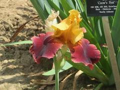 Irises 3 (D. S. Hałas) Tags: halas hałas canada ontario haltonregion wentworthcounty burlington aldershot royalbotanicalgardens botanicalgarden lakinggarden magnoliophyta liliopsida asparagales iridaceae iris flower