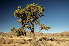 Joshua Tree #1 (Alan Headland) Tags: joshuatree desert trees sand rocks mountains sky