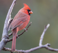 Northern Cardinal (Yer Photo Xpression) Tags: 2018 bird forsyth georgia ivyshaw northerncardinal ronmayhew canoneos6dmarkii red