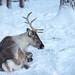 Tired reindeer (eba5684) Tags: poro reindeer winter zoo deer moose snow nikon