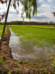 Reflections in flooded paddies 1 (SierraSunrise) Tags: agriculture esarn farming flooded isaan nongkhai paddyrice phonphisai reflections rice ricepaddies ricepaddy thailand water