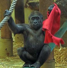 western lowlandgorilla Yanga Artis 094A0348 (j.a.kok) Tags: gorilla westelijkelaaglandgorilla welp lowlandgorilla laaglandgorilla animal artis africa afrika aap ape zoogdier dier primate primaat mammal monkey mensaap yanga
