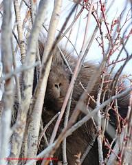 Porcupine (Photos of Southwest Montana) Tags: porcupine quills willow brown wildlife nature winter rocky mountains rockies beaverhead river beaverheaddeerlodgenationalforest photosofsouthwestmontana dillon montana bradchristensen rockymountains