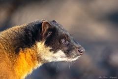 Buntmarder (Ria Trouw) Tags: tierparkberlin tierpark berlin tiere buntmarder raubtiere