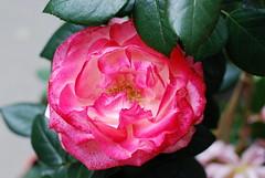 Es lebt für mich ein Schmerzensmann (amras_de) Tags: rose rosen ruža rosa ruže rozo roos arrosa ruusut rós rózsa rože rozes rozen roser róza trandafir vrtnica rossläktet gül blüte blume flor cvijet kvet blomst flower floro õis lore kukka fleur bláth virág blóm fiore flos žiedas zieds bloem blome kwiat floare ciuri flouer cvet blomma çiçe