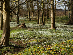 White and yellow (yvonnepay615) Tags: panasonic lumix gh4 nature flowers snowdrops aconites nt nationaltrust oxburghhall oxborough norfolk eastanglia uk