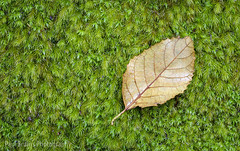 Mossy Leaf (Panorama Paul) Tags: paulbruinsphotography wwwpaulbruinscoza southafrica southerncape gardenroute knysnaforest indigenousforests moss green leaf nikond800 nikkorlenses nikfilters