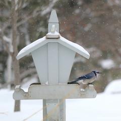 062. Bluejay (Misty Garrick) Tags: arboretum universityofminnesotalandscapearboretum landscapearboretum flowershow bird birds birding