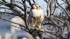 red-tailed hawk (juvenile) (quadceratops) Tags: massachusetts nature red tailed hawk salisbury beach