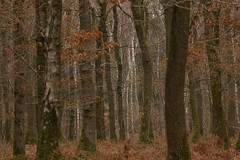 A hint of silver among the beech trees (christina.marsh25) Tags: silverbirch beech trees woods harewoodforest hampshire andover