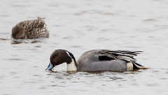 7K8A1123 (rpealit) Tags: scenery wildlife nature edwin b forsythe national refuge brigantine northern pintail duck bird