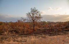 Solo Tree (Photos By RM) Tags: sunset tree southafrica safari krugernationalpark africa nature