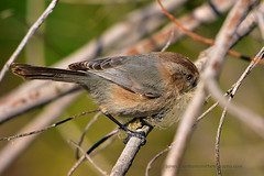 American_Bushtit_01 (DonBantumPhotography.com) Tags: wildlife nature animals birds donbantumcom donbantumphotographycom smallbrownbird goldringaroundtheinsideofhiseye americanbushtit