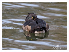 B57I6815-Tufted-Duck,-Aythya-fuligula (duncancooke.happydayz) Tags: birds bird birdperfect distinguishedbirds water freshwater wildlfe waterfowl uk british cumbria cumbrian barrowinfurness furness tufted duck tuffted aythya fuligula