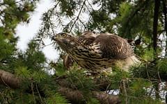 lieber abducken ... (cfowallburg) Tags: accipitergentilis accipitridae accipitriformes habicht greifvogel