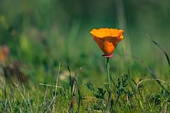 California poppy. Sweeney Ridge, Pacifica, CA. (j1985w) Tags: california pacifica sweeneyridge poppy grass