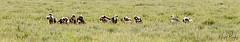 AFRICAN WHITE-BACKED VULTURE 2 (Nigel Bewley) Tags: tanzania africa wildlife nature wildlifephotography nigelbewley photologo appicoftheweek safari gamedrive africanwhitebackedvulture gypsafricanus maswagamereserve march march2019