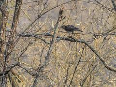 Shikra (Mike Prince) Tags: accipiterbadius accipitridae aves birds devaranayadurga india karnataka kiteshawksandeagles shikra birdsofprey raptors