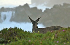 April2Image9706 (Michael T. Morales) Tags: deer ptpinos pacificgrove montereybay nature muledeer