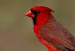 Northern Cardinal (markvcr) Tags: cardinal bird red nature willife texas coth5