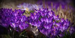 IMGP7189 (PahaKoz) Tags: весна природа сад флора цветение цветы крокусы spring nature garden flora flowers blossom bloom blossoming crocus