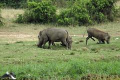 Pumba! (pbr42) Tags: africa uganda queenelizabethnationalpark nationalpark hdr water lake crater animal nature warthog