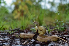 Eastern Brown Snake (Pseudonaja textilis) (shaneblackfnq) Tags: eastern brown snake pseudonaja textilis shaneblack elapid reptile dangerous venomous mareeba fnq far north queensland australia tropics tropical