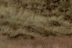 IMG_0037 (monika.carrie) Tags: monikacarrie wildlife seo shortearedowl forvie scotland owl