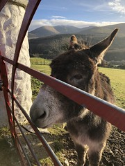 Donkey delight (akerrzz) Tags: codown rural countryside redgate red mournes ireland gate donkey