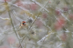 Goldfinch in the frost (Richard Holding) Tags: cardueliscarduelis bird chardonneret eure goldfinch hiver m43 nature normandie normandy oiseau olympus omd wildlife winter