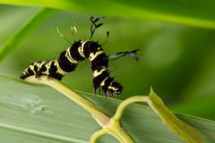 Owlet Moth Caterpillar (Tinolius eburneigutta) (JulGlouton) Tags: owlet moth caterpillar chenille tinolius eburneigutta erebidae lepidoptera invertebrate srilanka rainforest biodiversity sinharaja unesco worldheritage