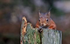 Red Squirrel      (Sciurus vulgaris) (nick.linda) Tags: redsquirrel sciurusvulgaris squirrels wildandfree northeastengland canon7dmkii canon100400mkll