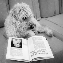 that doesn't look like me! 365/11 (Eric.Ray) Tags: dog maggiemae wheaten terrier canon eosm book square 2019 365 project pet animal flickr lack w