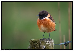 Stonechat (steve.gombocz) Tags: bird nikon nikonusers nikond850 nikon500mmf4 nikonfx nikoncamera nikoneurope avian uccello oiseau vogel ave pajaro flickraddict birdphoto birdphotograph birdphotography outdoor animal out outandabout perch nature wildlife wildlifewatch naturewatch wildlifephoto naturephoto wildlifephotograph naturephotograph wildlifephotography naturephotography wildlifepicture naturepicture bbcspringwatch tier animale flickrwildlife flickrnature wildbritain britishwildlife britishnature wildlifeuk yorkshirewildlife yorkshirenature bokeh birds ukbird stonechat birdwatch birdwatcher birdwatching naturewildlife uknatureandwildlife flickrbirds birdpicture explorewildlife explorenature explorebirds exploreflickr colour colours color colourmania orange rspbreserve rspbblacktoftsands