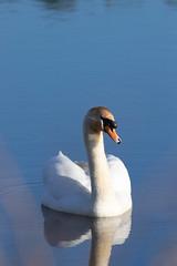 Mute Swan (Liam Waddell) Tags: bird mute swan water blue grass reeds bush white irvine ayrshire ponds
