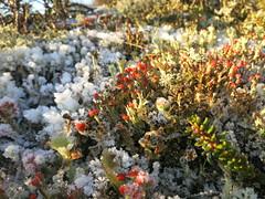 Ice (Filips Foto Hjørne) Tags: is krystalle crystals frosen frosset hede heath lake sø lav lichen