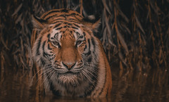 Tiger_4_Amur (neil 36) Tags: amur tiger yorkshire wildlife park branton doncaster animal stylized outdoors