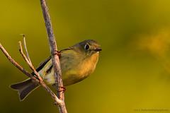 "Ruby-Crowned_Kinglet_05psd (DonBantumPhotography.com) Tags: wildlife nature birds animals rubycrownedkinglet smallgreenbird ""donbantumphotographycom"" ""donbantumcom"""