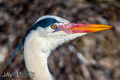 Grey heron (Ardea cinerea) portrait-7899 (George Vittman) Tags: portrait greyheron heron egret water marsh nikonpassion wildlifephotography jav61photography jav61 fantasticnature