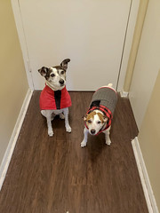 Jackets - 9/365 (prestonciere) Tags: hamilton ontario canada ca 365the2019edition 3652019 day9365 09jan19 dogs