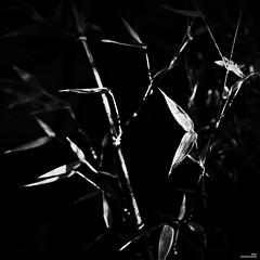 Plus grand est le bambou, plus bas il s'incline. (Un jour en France) Tags: bambou noiretblancfrance noiretblanc monochrome carré canoneos6dmarkii canonef1635mmf28liiusm zen