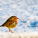 Mr Robin with all his Feathers Puffed out keeping warm....