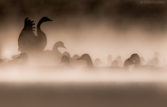 Canada Geese through the morning mist (Wildlife, Landscape & Cultural) Tags: canadagoose goose geese mist morning
