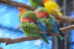 Rosy-faced Lovebird (Agapornis roseicollis) (Seventh Heaven Photography) Tags: peach faced lovebirds agapornisroseicollis agapornis roseicollis bird aves green blue pink nikond3200 emirates park zoo uae united arab rosy rosyfaced rosycollared collared