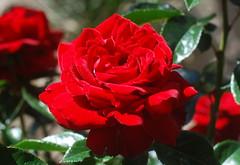 Dich, Friedefürst zu Salem preise (amras_de) Tags: rose rosen ruža rosa ruže rozo roos arrosa ruusut rós rózsa rože rozes rozen roser róza trandafir vrtnica rossläktet gül blüte blume flor cvijet kvet blomst flower floro õis lore kukka fleur bláth virág blóm fiore flos žiedas zieds bloem blome kwiat floare ciuri flouer cvet blomma çiçek