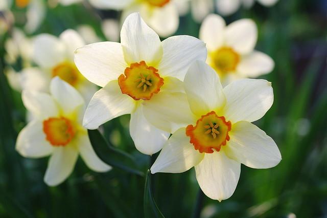 Обои макро, весна, нарциссы картинки на рабочий стол, раздел цветы - скачать