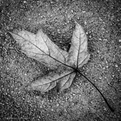03•52 • 2019 • dry leaf on concrete (Doug Churchill) Tags: 1x1 52weeksthe2019edition bw sonyrx100m3 startingtuesdayjanuary152019 week32019 alone arid beer blackandwhite blackwhite cement closeup closeups concrete dead death deaths dry foliage highangleview highangleviews highcontrast kegs leaf leaflet loneliness lonely macro macros melancholy sad sadness square