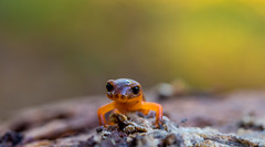 Head-on Salamander (Rick Derevan) Tags: salamander california cambria montereysalamander orange ensatinaeschscholtziieschscholtzii ensatinaeschscholtzii