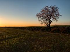 The golden hour in bloom. (muntsa-joan-color) Tags: sunset sky landscape rural atardecer catalonia catalunya capvespre nature naturaleza tree arbol sunrise liife vida